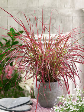 Pennisetum rubrum 'Red Savannah'